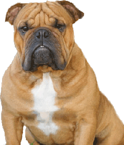 English Bulldogs And French Bulldogs Breeder Phoenix Tucson Arizona